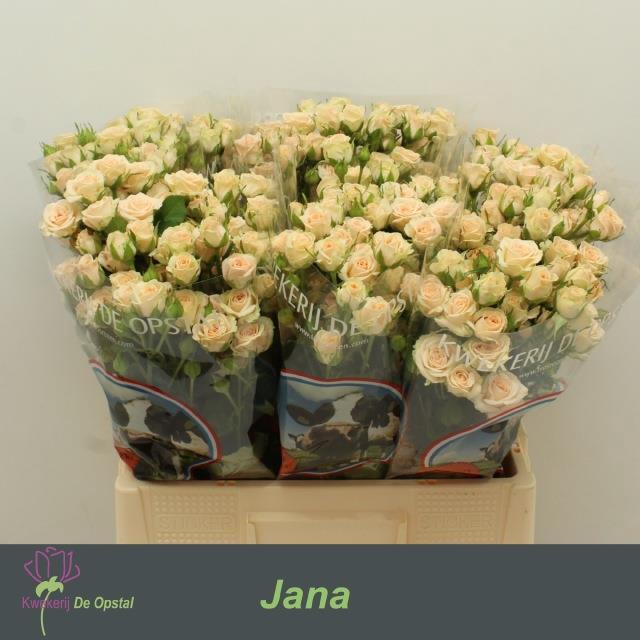 <h4>R TR JANA</h4>