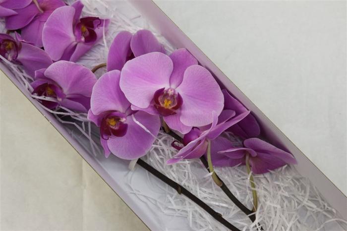 <h4>Phalaenopsis Surabbya</h4>