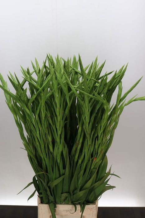 <h4>Gladiolus groot Pr Of Orange</h4>