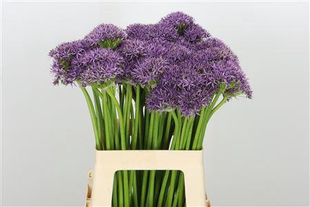 <h4>Allium Violet Beauty</h4>