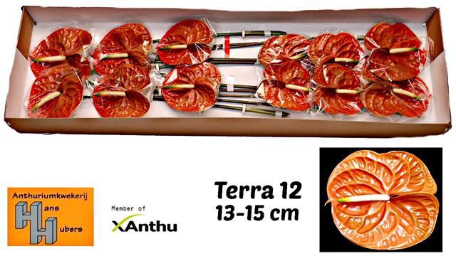 <h4>ANTH A TERRA</h4>