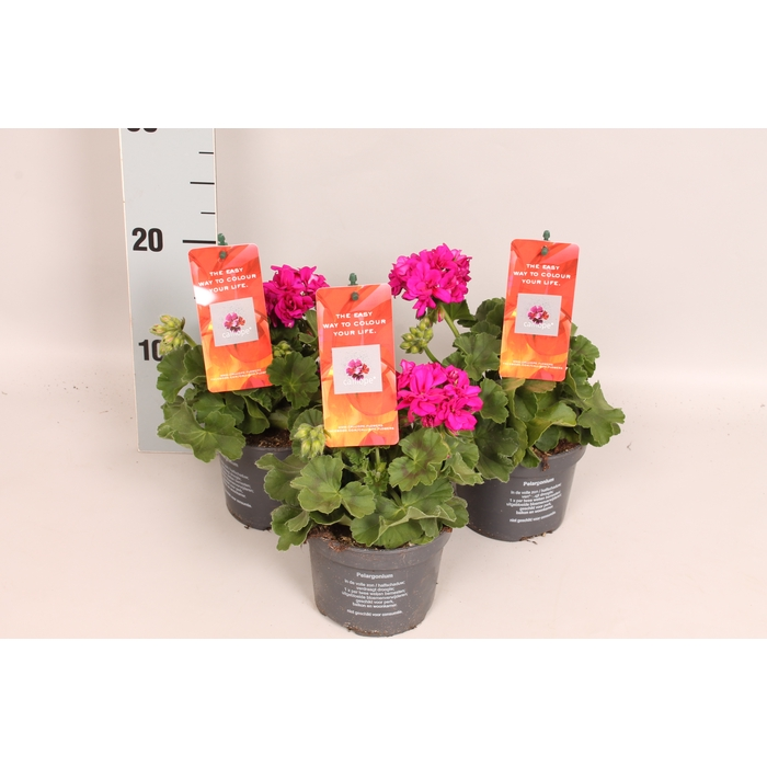 <h4>Pelargonium Calliope M Violet</h4>