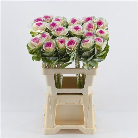 <h4>Brassica White-erica</h4>