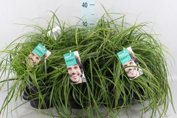 <h4>Carex oshimensis</h4>