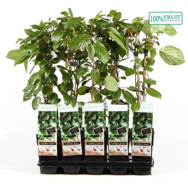 <h4>Actinidia arguta geneva - Female - 100%FRUIT</h4>