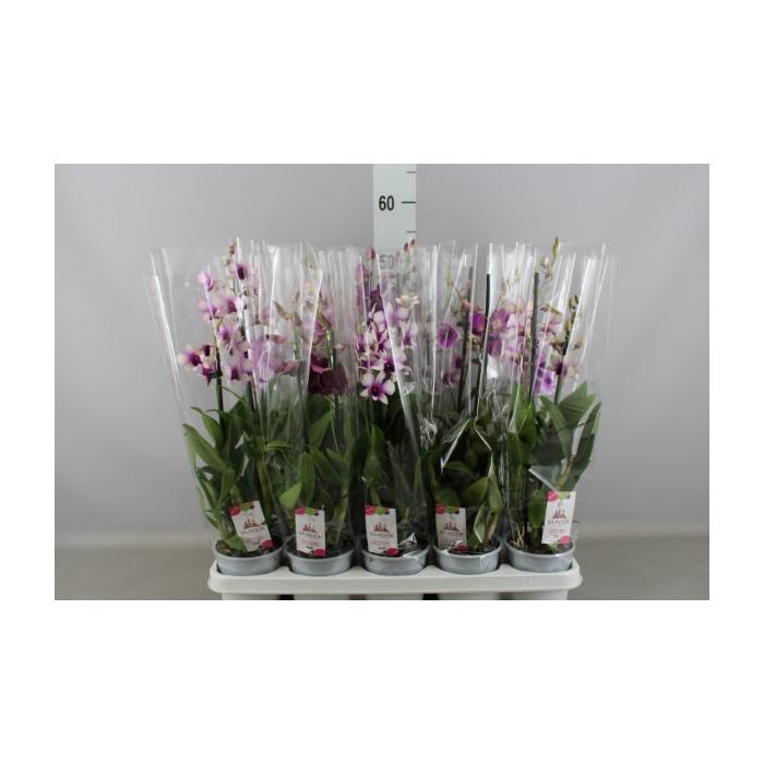 <h4>Dendrobium  'Sa-Nook'   ...mix 3</h4>