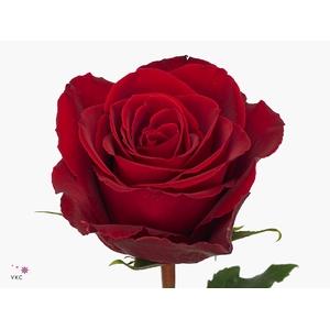 Rosa Gr. Madam Red
