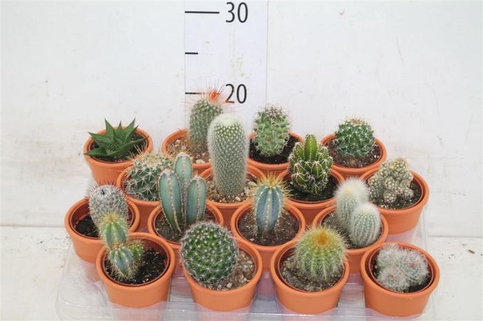<h4>Cactus Gemengd In Terracotta</h4>
