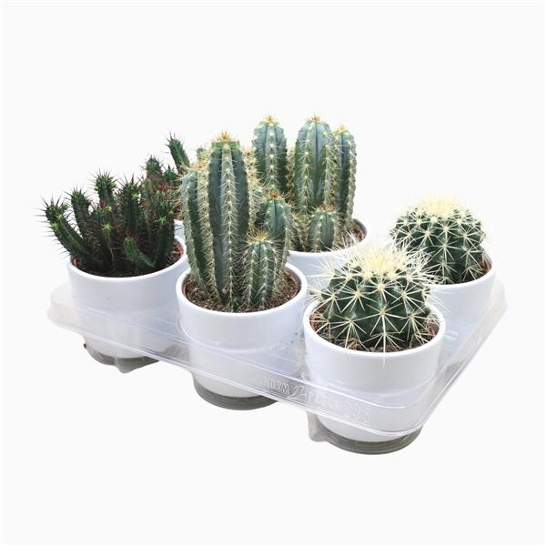 <h4>Cactus mix 10,5 cm. in witte pot</h4>