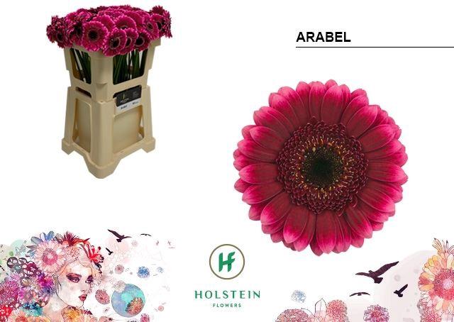 <h4>Germini Arabel</h4>