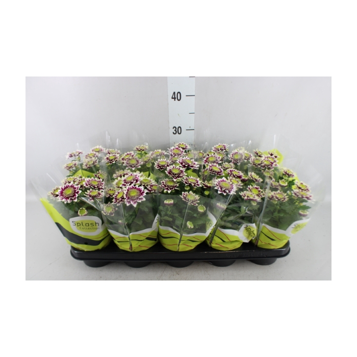 <h4>Chrysanthemum  'Splash Rocker'</h4>