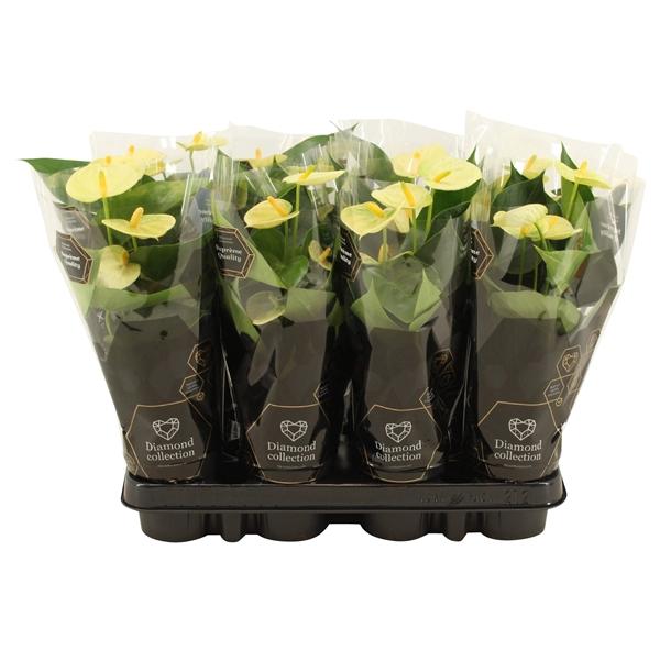 <h4>Anthurium Vanilla</h4>