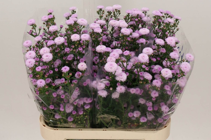 <h4>Aster Astee Pink Pearl</h4>