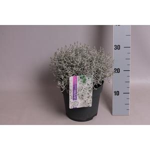 vaste planten 19 cm  Calocephalus brownii Challenge