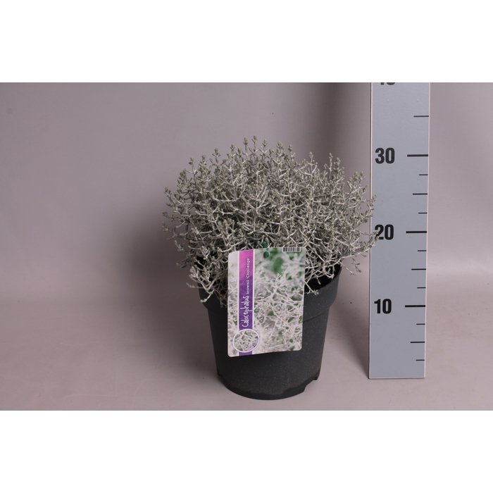 <h4>vaste planten 19 cm  Calocephalus brownii Challenge</h4>