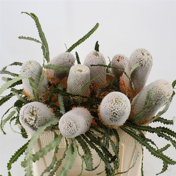 <h4>Banksia Prionotes</h4>
