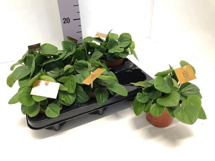 <h4>Peperomia Rana Verde 10,5Ø 15cm</h4>