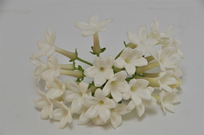 <h4>Stephanotis</h4>
