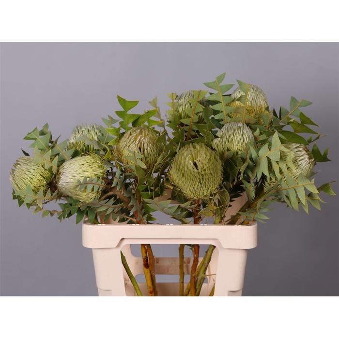 <h4>Banksia Baxteri</h4>