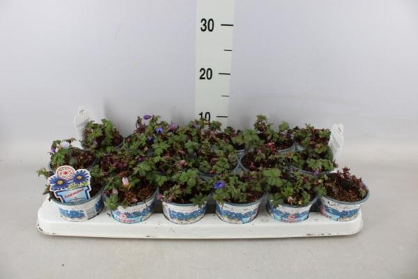 <h4>Anemone blanda 'Blue Shades'</h4>