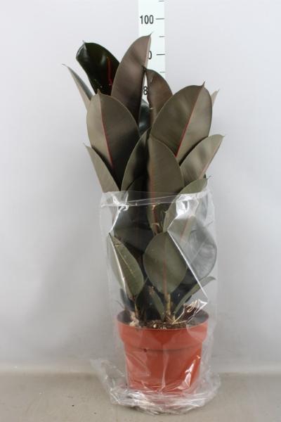 <h4>Ficus elastica 'Abidjan'</h4>
