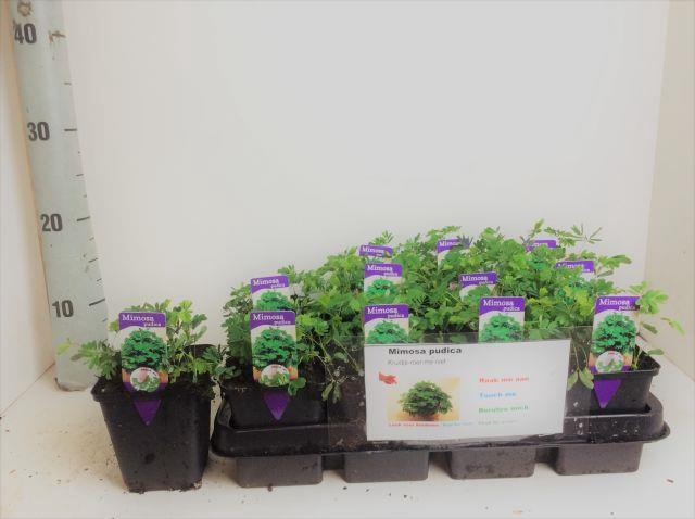 <h4>MIMOSA PUDICA</h4>