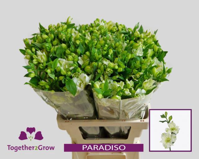 <h4>Alstr Flor Paradiso</h4>