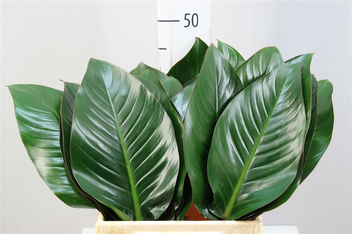 <h4>Philodendron Congo Rood</h4>