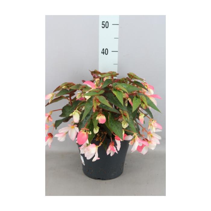 <h4>Begonia boliv. 'CrackFire Pink'</h4>
