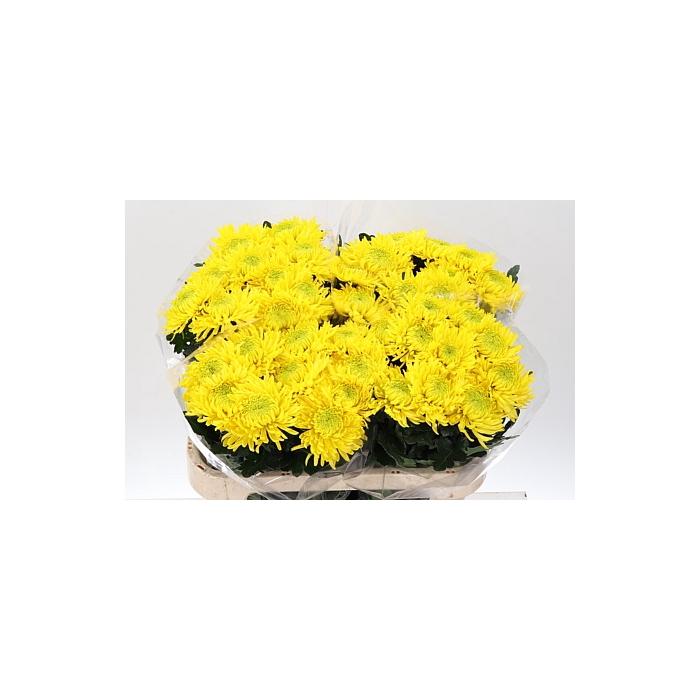 <h4>Chr G Armg Yellow</h4>
