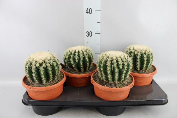 <h4>Echinocactus grusonii</h4>