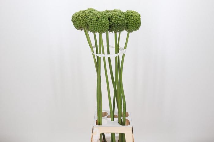 <h4>Allium Green Craze</h4>