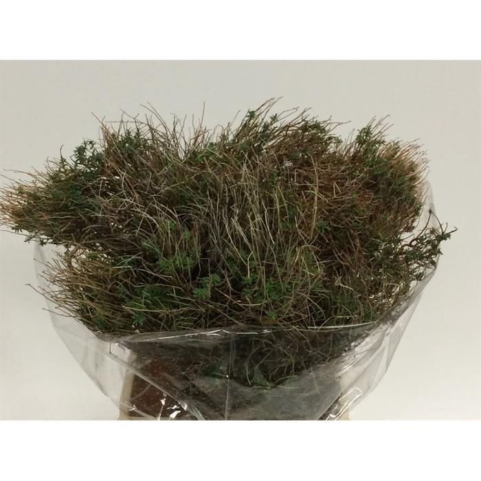 <h4>Euphorbia Spinoza 350 Gram</h4>