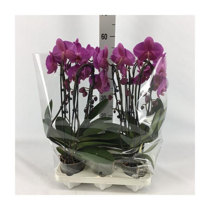 <h4>Phalaenopsis   ...rose</h4>