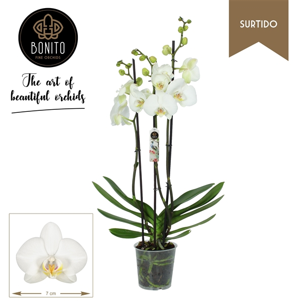 <h4>Phalaenopsis Dover</h4>