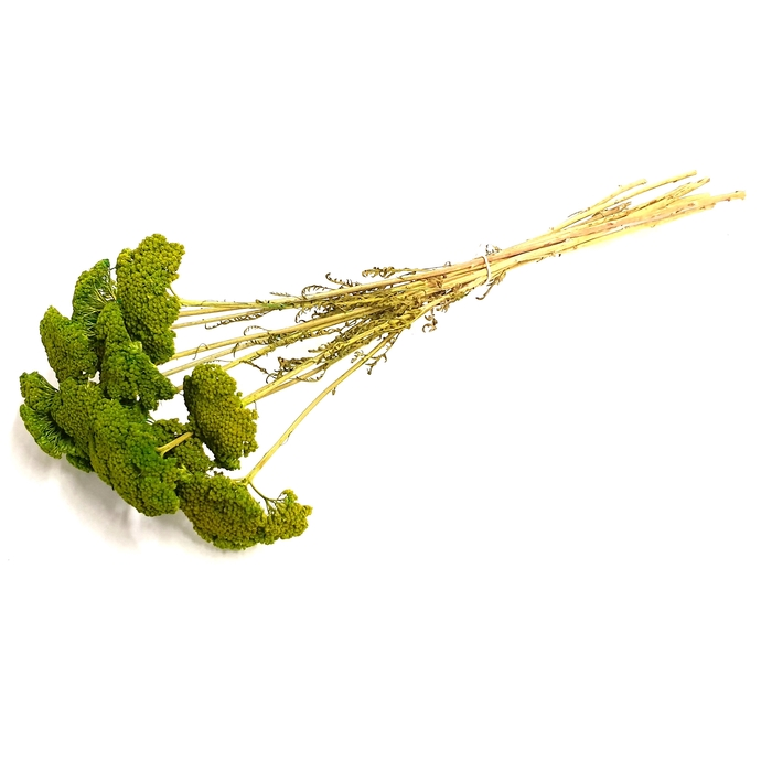 <h4>Achillea per stem Light Green</h4>