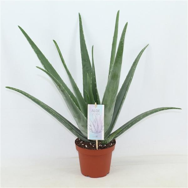 <h4>Aloe Vera Barbadensis</h4>