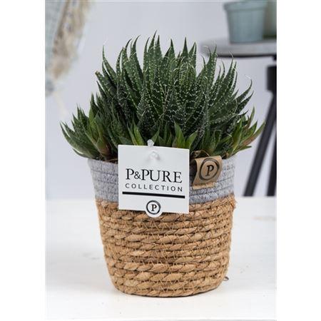 <h4>Aloe Aristata Basket Iii</h4>