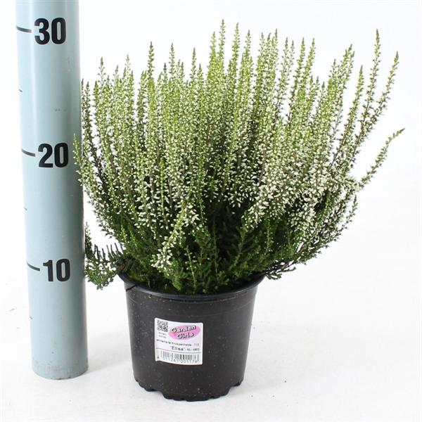 <h4>Calluna vulgaris Garden Girls 'Elisa'</h4>