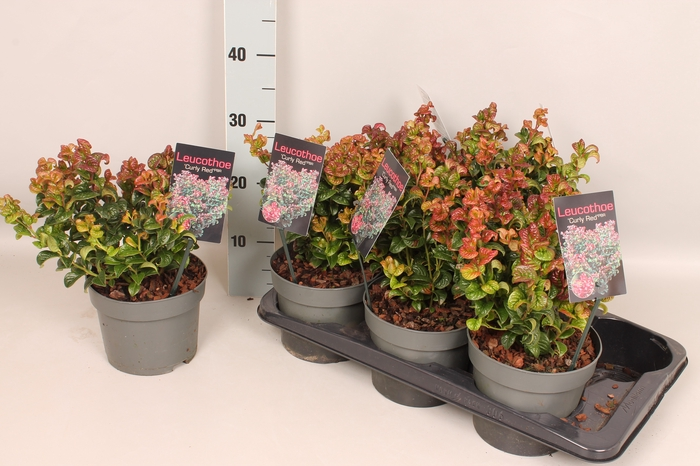 <h4>Leucothoe ax. 'Curly Red'</h4>