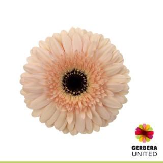 <h4>Gerbera Cafe Del Mar</h4>