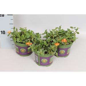 Portulaca Orange