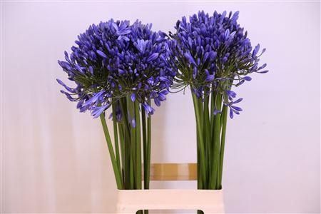 <h4>Agapanthus FU 'Blue Heaven'</h4>