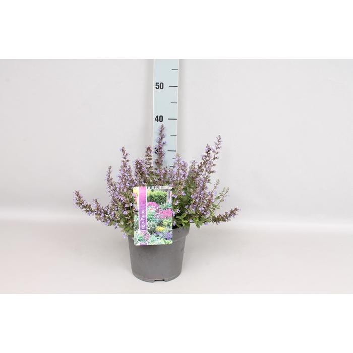 <h4>vaste planten 19 cm  Nepeta Purssian Blue</h4>