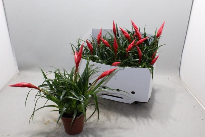 <h4>Vriesea Astrid</h4>