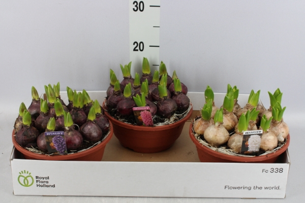 <h4>Hyacinthus orie. 'Pearl'   ...mix 3</h4>