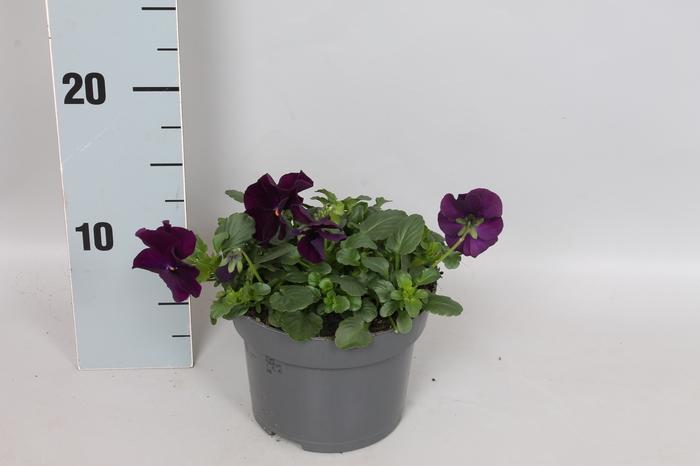 Viola Coolwave Purple