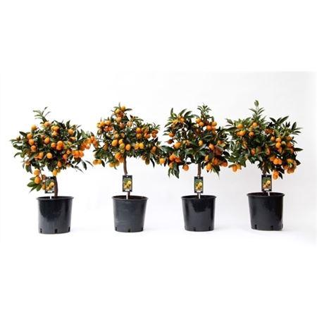 <h4>Citrus Fo Kumquat</h4>