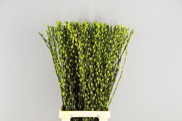 <h4>Salix Wilgenkatjes Pnt. Lime</h4>