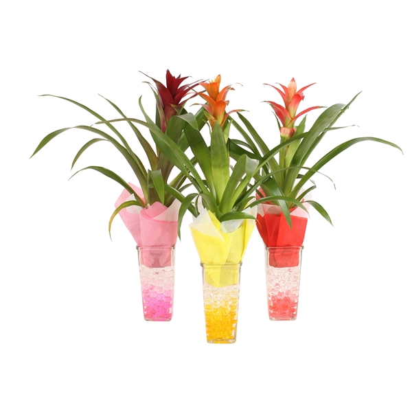 <h4>Square glass 9cm with arr Guzmania and gelpearls</h4>
